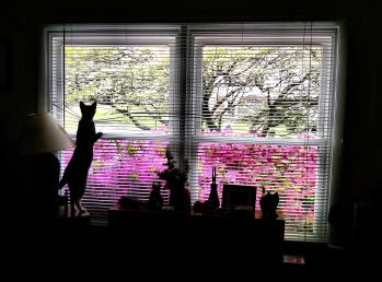 alafair window azaleas 1