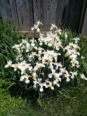 photo challenge Irises